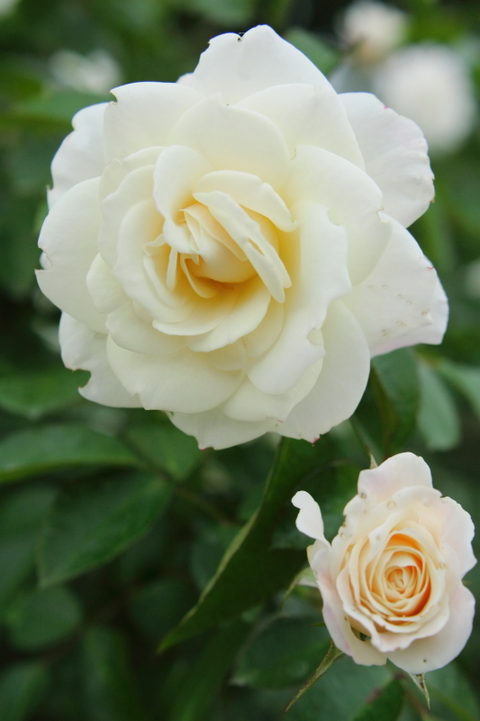 Rosa Fabulous!