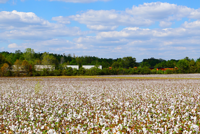 Oct0116 BNSF in cotton farm Harpersville
