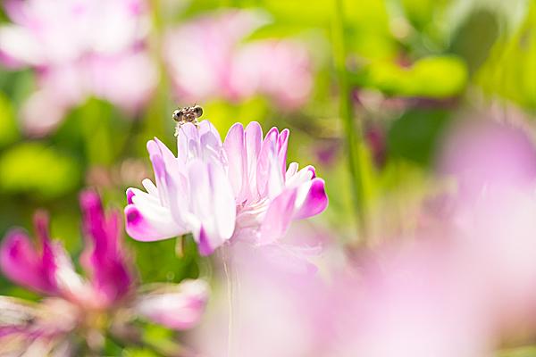 レンゲの花とトンボ