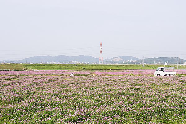 レンゲ畑と山並み