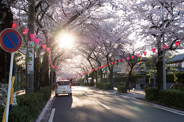 森孝の桜並木夕景