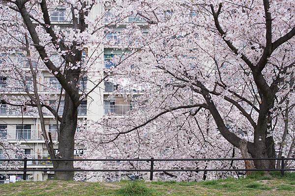 牧野が池公園と桜