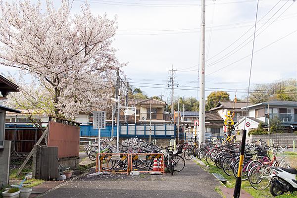 瀬戸市役所前駅の桜