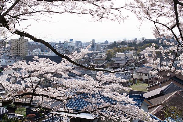 高台から桜越しに瀬戸の街並み