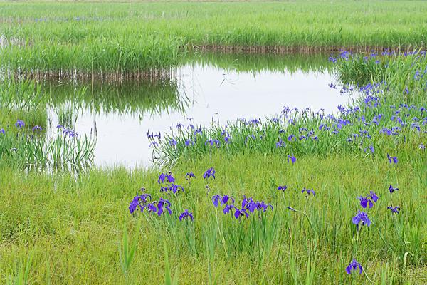 小堤西池のほとりに咲く杜若