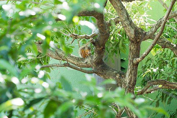 木の上のニホンリス