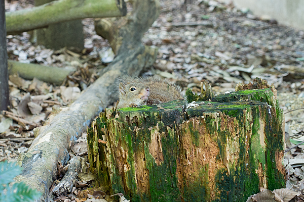木の穴から顔を出すリス