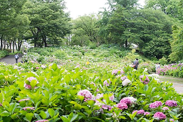 茶屋ヶ坂公園アジサイ風景
