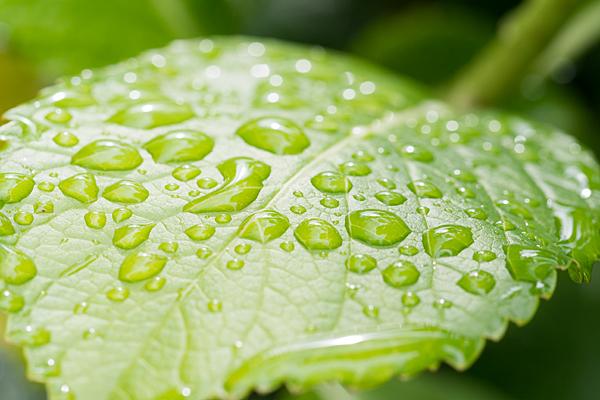 アジサイの葉と水滴