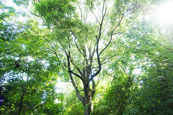 大楠の木の新緑