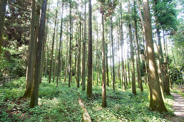 杉林と差し込む光
