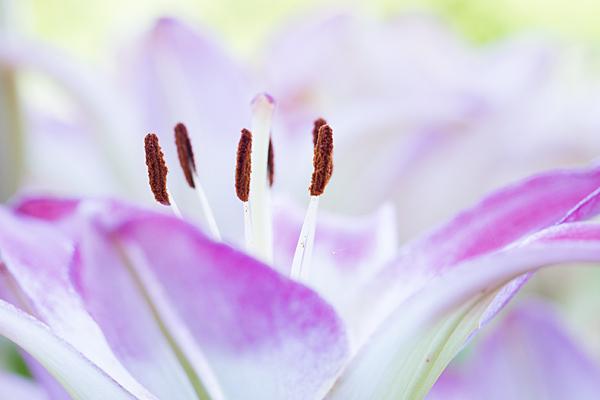 ピンクのユリの花