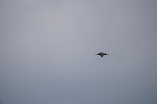 カワウ飛翔