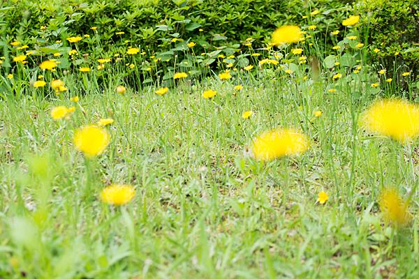 初夏の頃の黄色い花