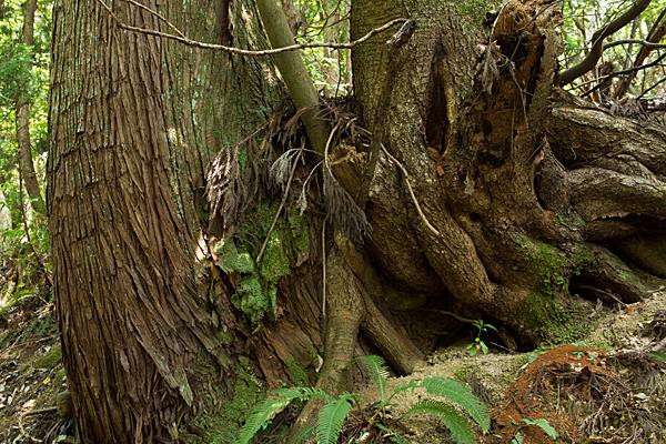 巨木杉の幹と根