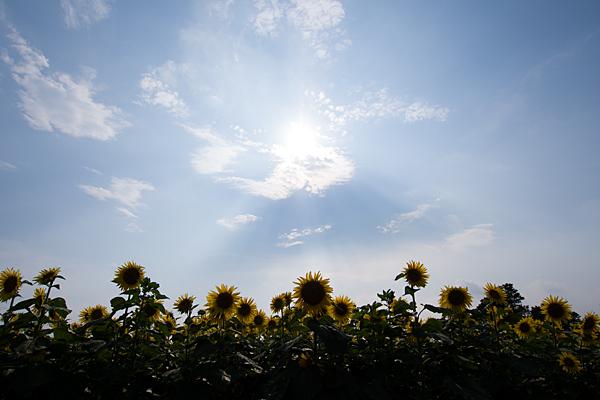 夏の青空とヒマワリ