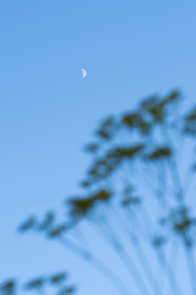 半月とオミナエシ