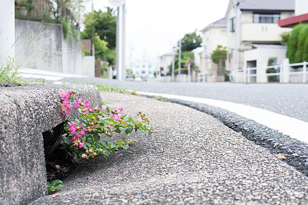 道ばたの側溝に咲く百日紅