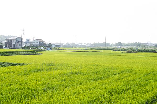 7月の田んぼ風景