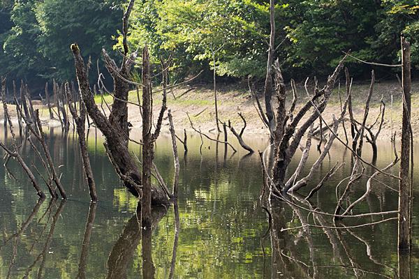 海上池の立ち枯れの木