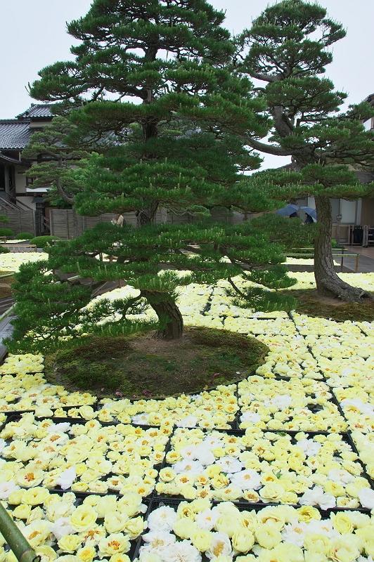 大根島牡丹園 2