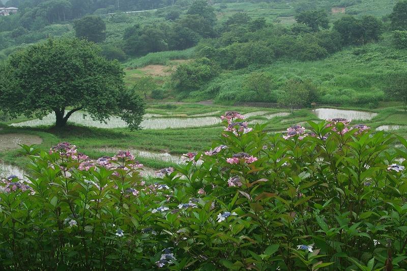雨の棚田 2