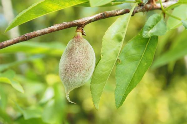 アーモンドの果実