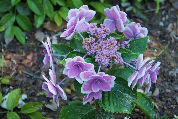 アジサイ ( 紫陽花 )