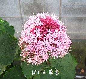 IMG_0011_1ぼたんくさき
