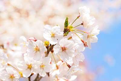 cherry-blossom_00011.jpg