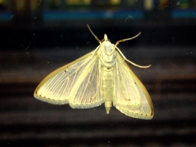 無反射フィルムは、蛾の目の構造をまねたものだった?