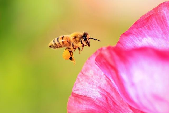 ハチミツ1ビンを作るには、400匹のミツバチが必要だった?
