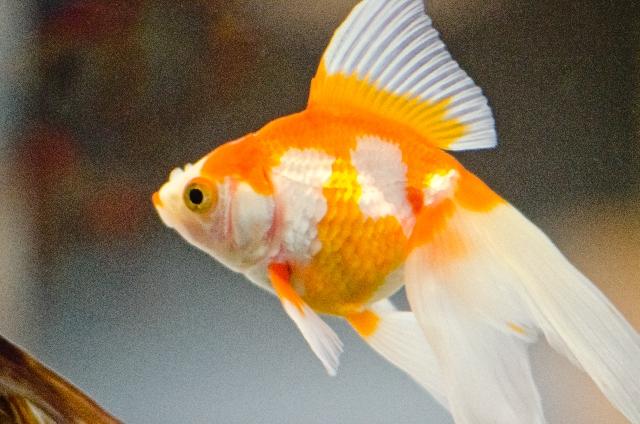 金魚も鳴く?