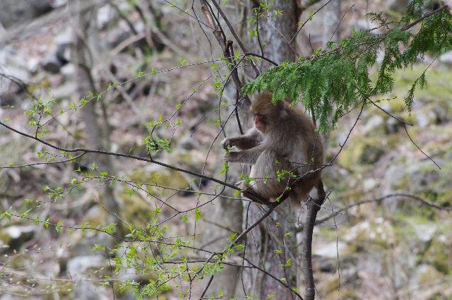 木の上の ニホンザル