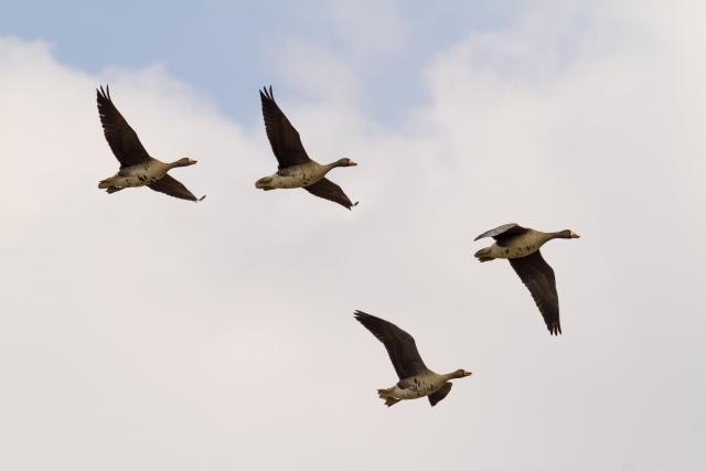 鳥は、何故V字型の編隊をつくる?