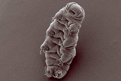 なんと! 体が乾燥しても生き続ける小さな虫がいる?-クマムシの神秘