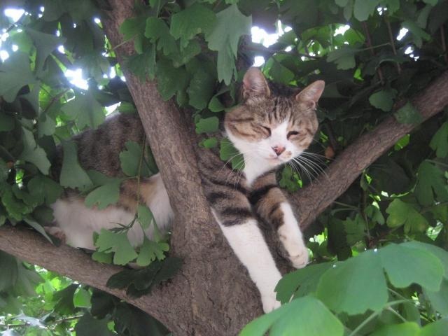 街中を騒がせたネコの大冒険?-20メートルある木に登ったネコが下りられなくなって大騒動!