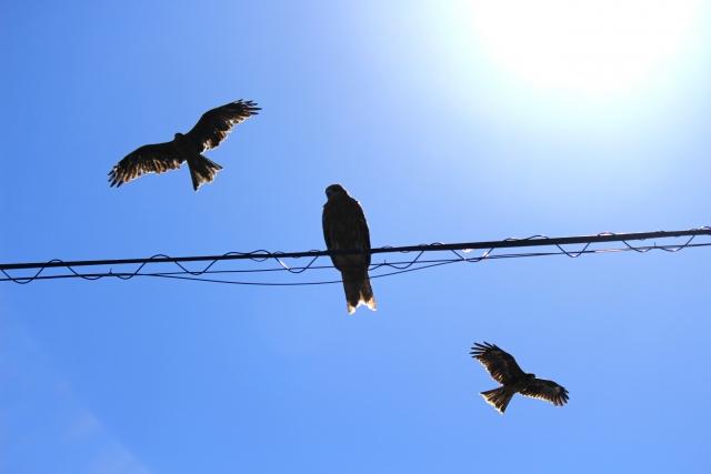 鳥は何故電線に止まっても感電しない?-焼き鳥にならない理由