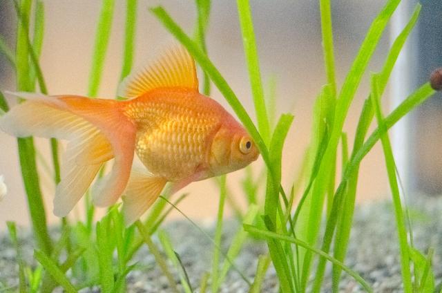 野生種の金魚は存在する?