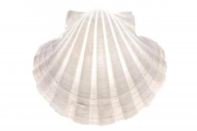 ホタテ貝は、天敵から身を守るために泳ぐことができる?