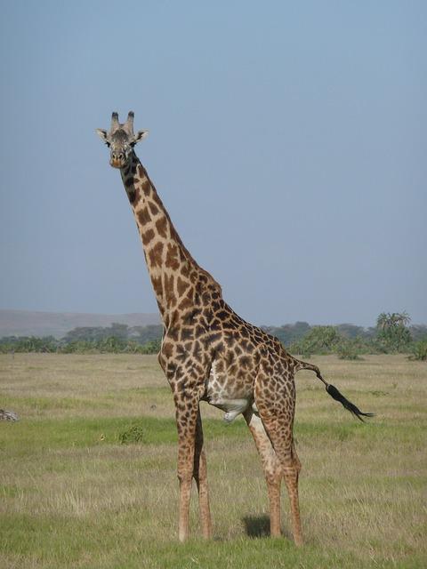 キリンの首は、何故長い?