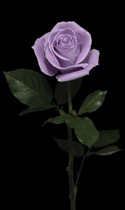 不可能といわれた「青いバラ」を作ったのは、サントリーだった?