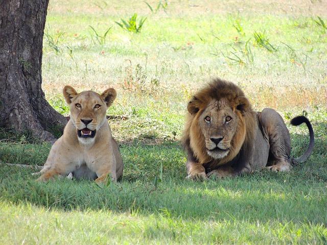 強者 ライオン