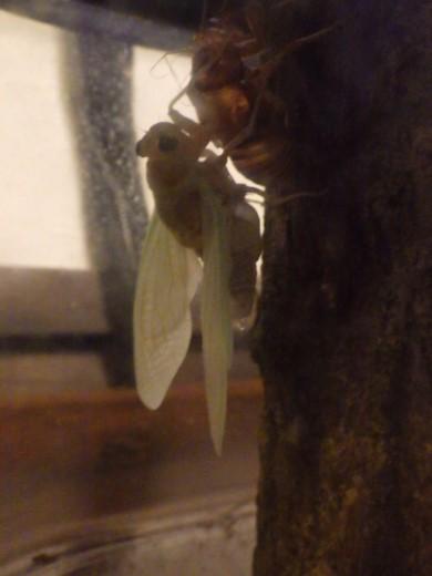 蝉の脱皮 (15)