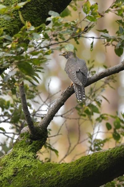 カッコウ幼鳥20181014-5