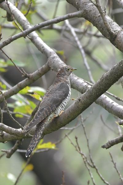 カッコウ幼鳥20181016-2