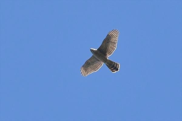 オオタカ幼鳥①20181025-2
