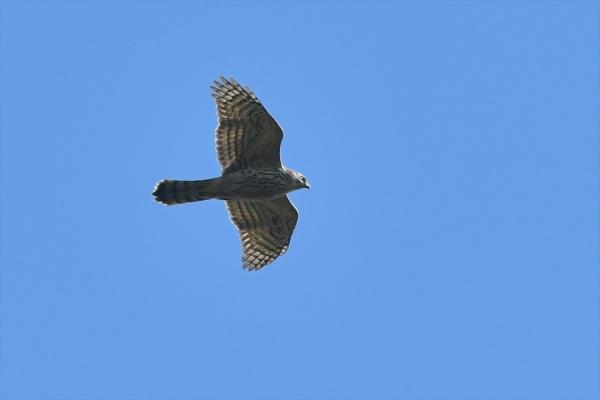 オオタカ幼鳥③20181025