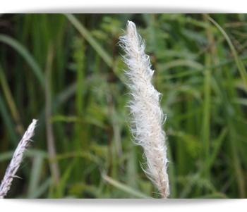 チガヤの穂