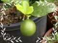 鉢植えレモン